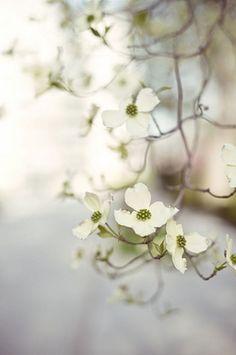 delbosco:  magnoliamerryweather:  Dogwood Blossoms (via *Peanut (Lauren))