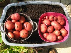 """Grow Food, Not Lawns  """"I grew 22 pounds of potatoes on our 8th floor balcony in Washington, DC this summer! """"It's just a cheap plastic tub used for storage. I put two small drainage holes and some ground roughage in the bottom. Rest is soil. I planted six potato eyes in March. Harvested mid summer n saved smallest potatoes to replant. Harvested second batch in mid October!"""" - Chuck, page member"""