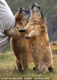Other side of the lens: Marmots like the ones seen in Austria can reach up to 50cm in length