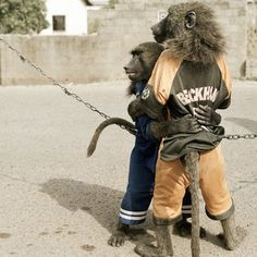 The Hyena men in Nigeria also have baboons performing in their acts. Photo credit: Pieter Hugo