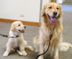 Aaron Comfort Dog in Training with his buddy Adeena Comfort Dog ! #k9comfortdogs #dogs