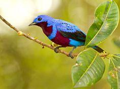crejoá (Cotinga maculata) por Ciro Albano | Wiki Aves - A Enciclopédia das Aves do Brasil