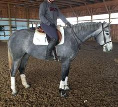 Beautiful steel grey 2012 CWB mare standing 16hh Ready to walk into the 5yr old Jumper classes  Zoom is sired by imported stallion Cat Weasel Z ( bloodlines: carthego, Darco, quidam de revel) and her dam is by Nicholson B ( bloodlines: Concorde, Voltaire, ladykiller)   Zoom is an extremely scopey young prospect with a huge step, and lovely balanced canter. Zoom has zero spook and jumps with wonderful natural technique.   Has been off property to a handful of horse shows in the 2'6 Hunter ...