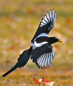 yellow billed crow | Yellow-billed Magpie (Pica nuttalli). A large bird in the crow family ...