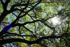 close up branches of an oak tree - Google Search