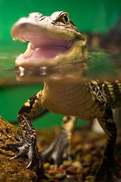 One day, I'd like to have the pleasure of owning a baby gator.