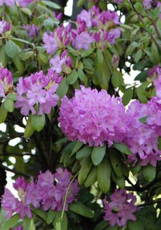 Rhododendron...our bush/tree against the side of the house (started blooming mid May)