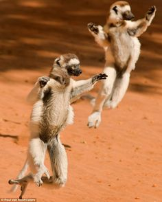 Lemurs running. Their feet aren't built for the ground. Makes me think of the Mother Thing from Have Spacesuit Will Travel.