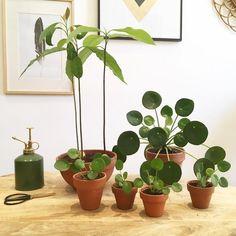 A beautiful Pilea family!
