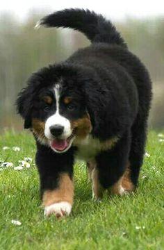Berner pup <3