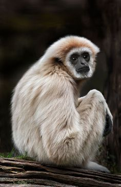 The Happy Lar! by Sue Demetriou These Lar Gibbons are found in the rainforests of southeastern Asia. The gibbon's favorite food are fruits, but they also eat leaves, tree bark, flowers, and plant...