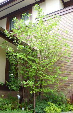 エゴノキ Exterior Design, Interior And Exterior, Green Garden, Trees To Plant, Gardening Tips, Flower Pots, Paths, Greenery, Garden Design