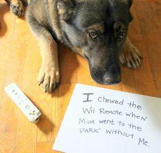 German Shepherd Dog Shaming | Dog Shaming - Funny