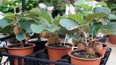 Geniální způsob jak si doma vypěstovat své vlastní kiwi! Mnohem lepší než to kupované! | Vychytávkov