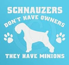 Schnauzers don't have owners, they have minions