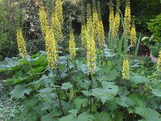 Ligularia przewalski. Flowers July-August