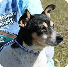 Prattville, AL - Jack Russell Terrier Mix. Meet Casey 19570 a Dog for Adoption.