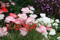 Romantic Papaver rhoeas 'Falling in Love'
