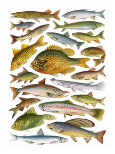Poster -Fresh Water Fish - Canadian