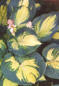 "Hosta 'GREAT EXPECTIONS'  Height:  20"".  Width:  40"".  Partial to full shade.  Consistent water needs.  Every leaf is unique.  Attracts hummingbirds"