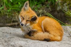 Renard roux - Red fox by Charles-Olivier Boulianne on 500px