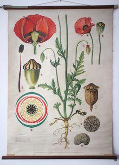 Poppy wall chart, Botany I - Irenaeus Kraus - 20th Century