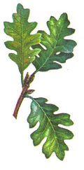 The Silviculture of Oregon White Oak