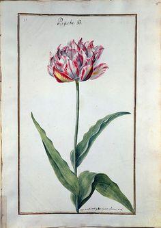 Karlsruher Tulpenbuch - Книга тюльпанов Карлсруэ (1730 год)