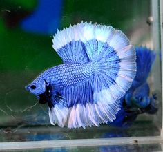 This page is a reference for common color types and variations of bettas. Betta Fish Types, Betta Fish Care, Pretty Fish, Beautiful Fish, Beautiful Sea Creatures, Animals Beautiful, Colorful Fish, Tropical Fish, Fish Tank Themes