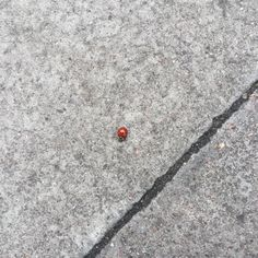 From Hikki's Twitter - yet another in her series of photos of things she saw on the ground.  This time - a ladybug!  :)