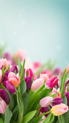 9 Top Spring Flowers Wallpaper For Your Android or Iphone Wallpapers Tulips Flowers, Flowers Nature, Fresh Flowers, Planting Flowers, Beautiful Flowers, Tulips Garden, Pink Tulips, Beautiful Things, Roses