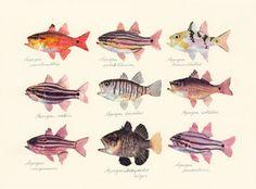 genus Apogon / Cardinalfishes (テンジクダイのなかま genus Apogon : uonofu 魚の譜から)