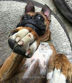 See more Boxer Dog Troll Face Photos  . Follow Us!