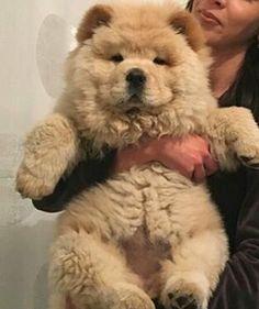 He looks like a teddy bear!!