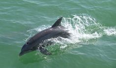 Friendly dolphin was chasing the boat on the way to Cabbage Key. #SWFL #Florida #Travel