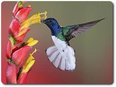 hummingbirds   http://susansmithjones.com/sites/default/files/graphics/hummingbird ...