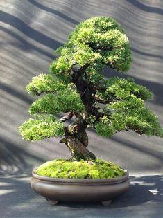 Bonsai alternative Tree of Life