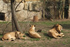 Lions In Zoo Free Stock Photo - Libreshot