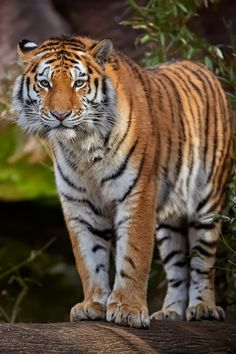earthlycreations: Tiger by René Unger