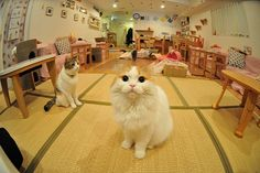 Important! The comprehensive mapping of cat cafés around the world