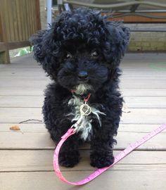Adorable Black Poodle  ♥