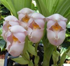 กล้วยไม้ กล้วยไม้ป่า การปลูกกล้วยไม้ กล้วยไม้ดิน กล้วยไม้แคทลียา กล้วยไม้ช้าง กล้วยไม้แวนด้า: กล้วยไม้สายพันธุ์ Anguloa uniflora Orchid | กล้วยไม้ทิวลิป