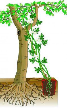 Ramblerrosen: Zweite Blüte für alte Bäume