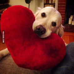 My friend's golden retriever Loki picks up this heart-shaped pillow every time he meets a new friend.