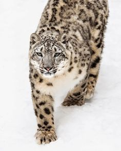"beautiful-wildlife: ""Snow Leopard on the Prowl by Abeselom Zerit "" I Love Cats, Big Cats, Cats And Kittens, Most Beautiful Animals, Beautiful Cats, Majestic Animals, Snow Leopard Tattoo, Serval Cats, Cute Creatures"