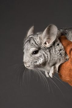 ✮ Chinchilla. Raised a few of these. Babies are born ,furry w/ their eyes open, running everywhere