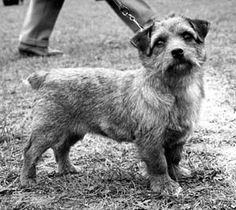 Ch Colonsay Banston Belinda, Norfolk terrier whelped 1964.