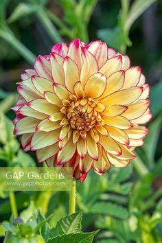 Garden Plants, Flora, Stock Photos, Lady, Photography, Nature Photography, Dahlias, Photograph, Fotografie