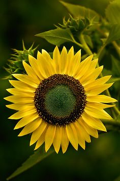 Sunflower by JHRphotoART. Helianthus  (sunflower) is a genus of plants comprising about 52 species in the Asteraceae family, all of which are native to North America.