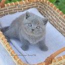 У НАС ЕСТЬ БРИТАНСКИЕ КОТЯТА! - Питомник британских короткошерстных кошек Brilliant Field*BY